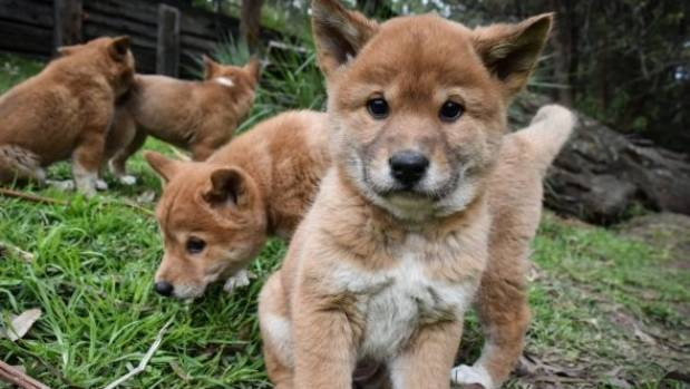 New Guinea Singing Dog Puppies For Sale Usa