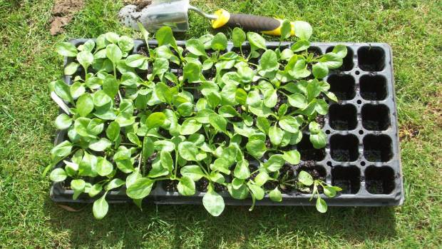 Plants usually come in cell trays and they have to be carefully pushed out not losing any soil.