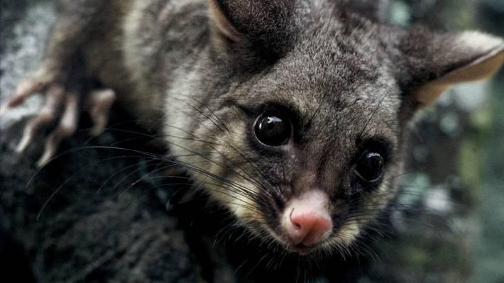 5db0d8141e7 NZ possum fur industry wants to prove it s cruelty-free