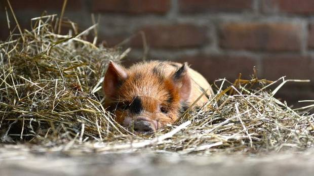 Staglands, home to this kunekune pig, will have its power cut off for a day on August 24, meaning the park will have to ...