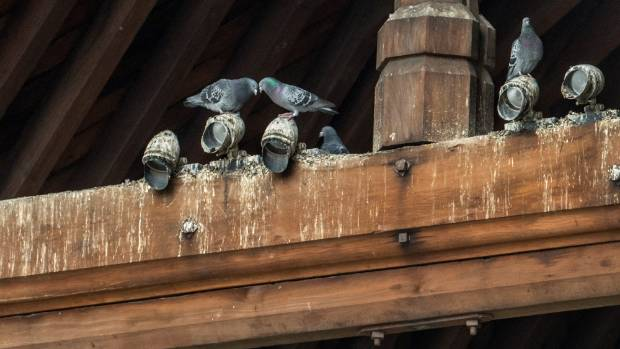 Pigeons use century-old timber beams as a roosting spot. The totara is marked from their toxic and corrosive droppings.