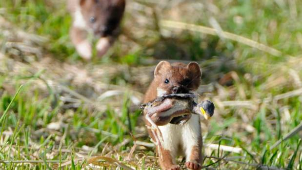 Stoats, rats and possums are targeted in the government's Predator Free 2050 strategy.