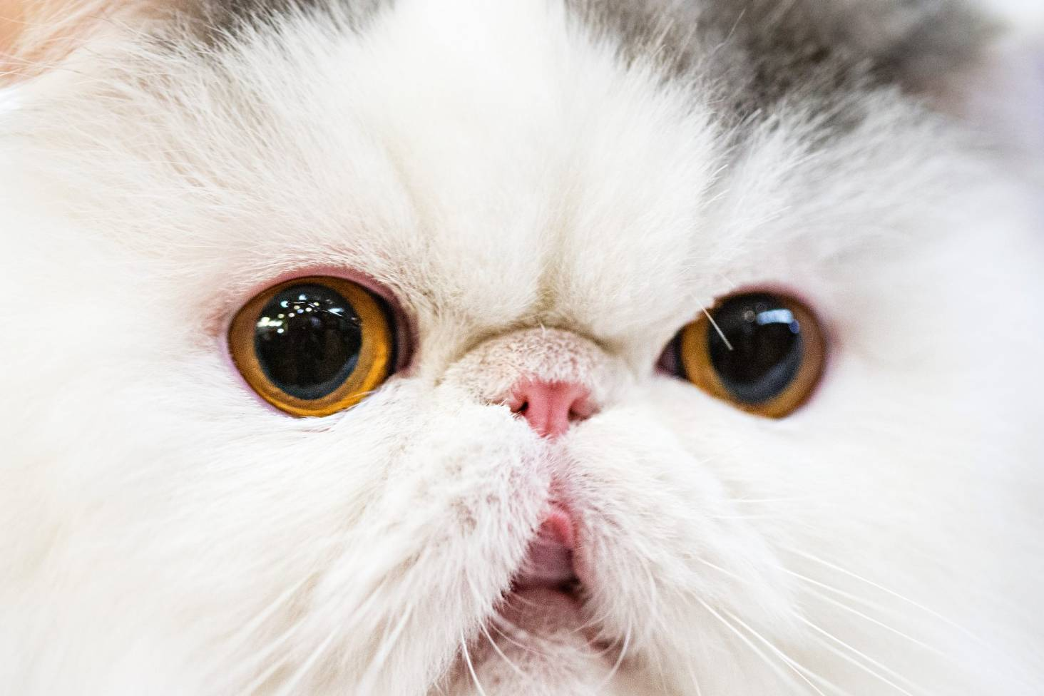 Five Of The Best Cat Breeds For Families Stuff Co Nz