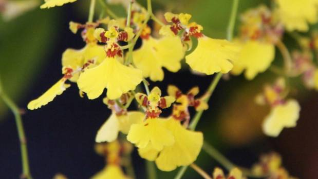 Oncidium flexuosum produces delicate nodding yellow flower sprays that arch downward and tremble in the lightest breeze. ...