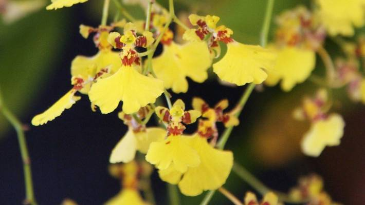Orchids 101 a complete guide to keeping indoor orchids alive oncidium flexuosum produces delicate nodding yellow flower sprays that arch downward and tremble in the lightest mightylinksfo