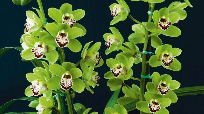 can orchids grow in water