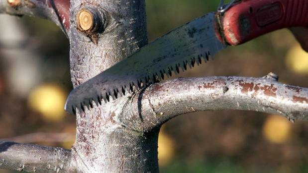 Dwarf trees rarely need pruning as there is more fruit production than vegetative growth. Prune only to shape it and ...