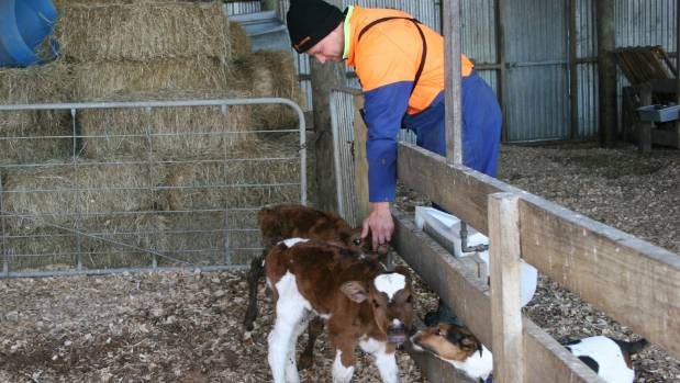 Glenn and his dog Patch with some of the early calves on Landcorp Ruapehu Farm.
