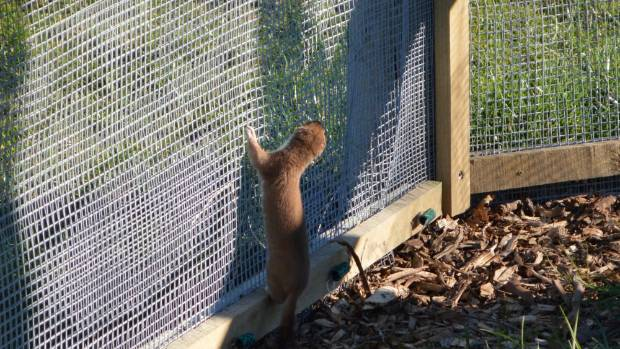 A stoat jumps on a predator fence, seeking a way out at Zero Invasive Predators Ltd's research facility in Lincoln.