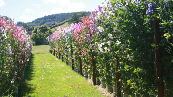 Think You Know All About Sweet Peas Think Again Stuff Co Nz