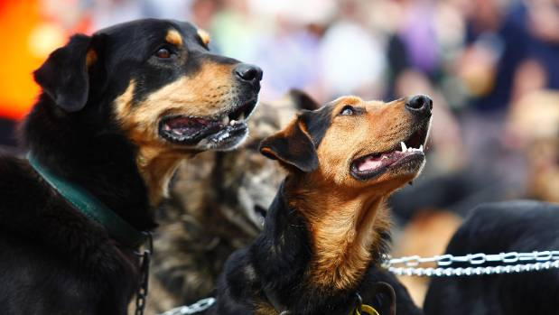 Two participants get into the spirit of the Hunterville Huntaway Festival. Events at the yearly event include dog ...
