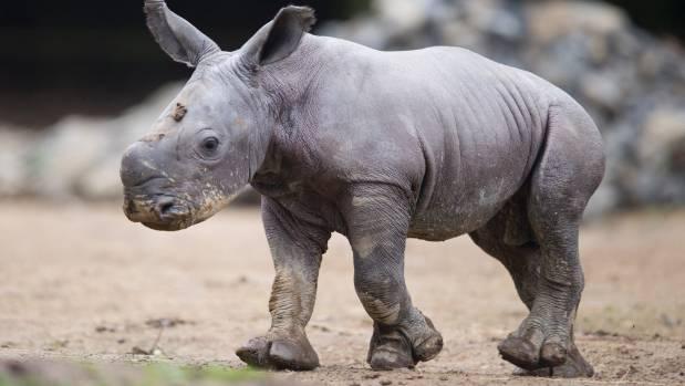Samburu is the seventh white rhino for Hamilton Zoo.