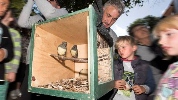 South Island robins being released into Kaipupu Point Wildlife Sanctuary in Picton harbour in the area's first ...