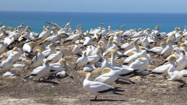 There are as many as 20,000 breeding pairs of gannets nesting by the cliff edges  at Cape Kidnappers.