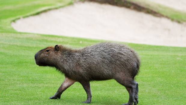 It's a capybara on a golf course. Obviously.