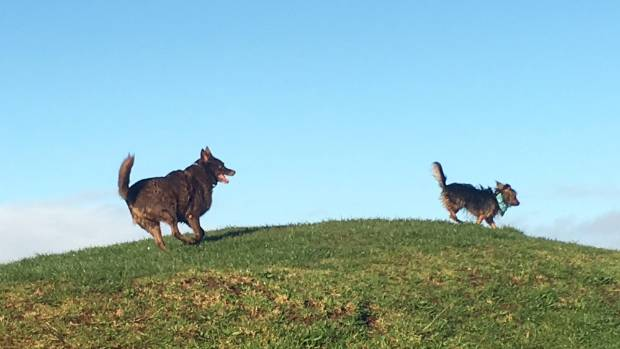 There was delay in the agility arena when Kita and Mabel abandoned their event in pursuit of a nugget of duck poo.