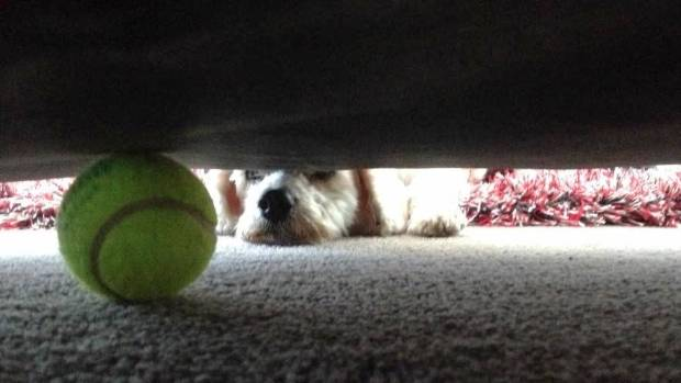 This event is known as Fetch. It is divided into four quarters: Chase, Lose, Find, and Give Up. This is Roscoe, late in ...