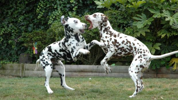 Pita and Bracken, joint champions in Play Fighting, brought glory to the Dalmatian nation.