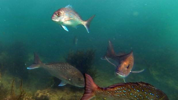 Auckland University researchers have looked at plastics eaten by fish around the South Pacific.