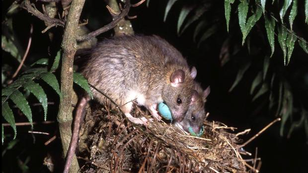 Rats feed on eggs in a song thush nest at the Nga Manu Nature Reserve.