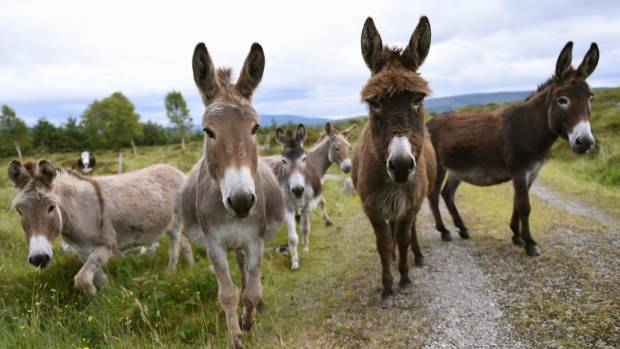 Six donkeys in Ireland - five more than entered New Zealand in 2014.
