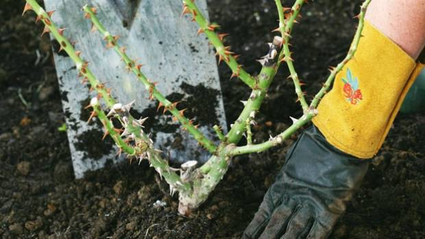 The right way to transplant a rose for Rich soil definition