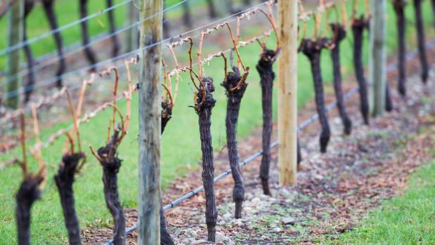Thousands of workers are needed to service the growing Marlborough wine industry each year.