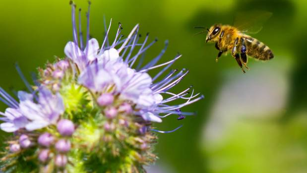 Bee numbers are on the increase in New Zealand thanks to careful management by beekeepers.