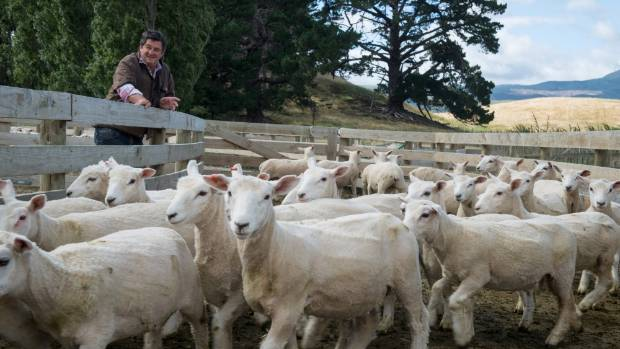 Grant McGhie is Landcorp manager of Wairio farm in the  Wairarapa. The wool from those sheep is destined for premium ...