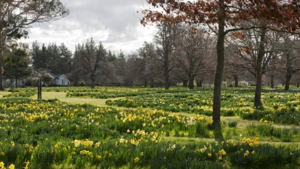 Meandering paths wander through the masses of daffodils at Taniwha Station