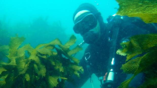 Research, both in and outside three marine reserves including by Dr Nick Shears has shown the crayfish population in the ...