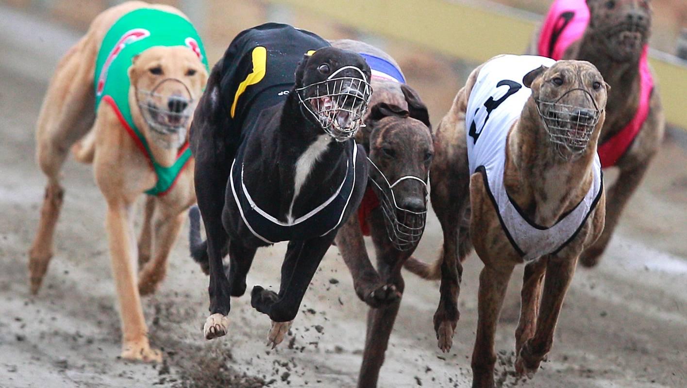 Greyhound Racing Betting