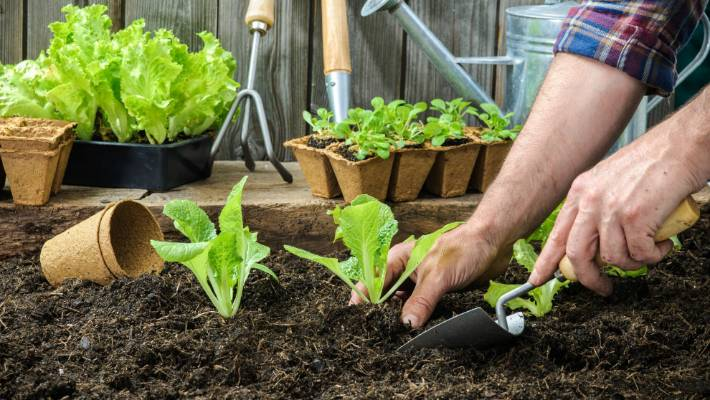 Scrape back a layer of mulch then plant your seedlings once they're established.