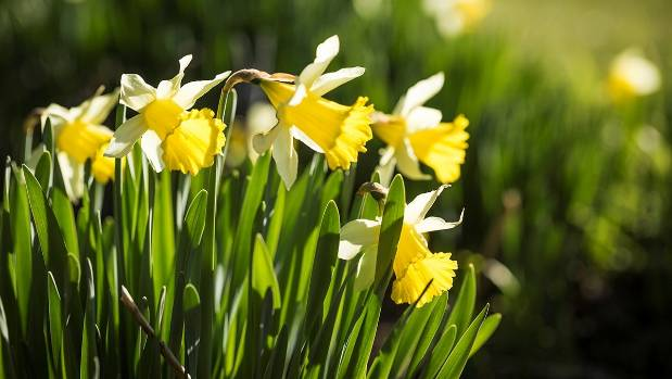 The star attraction of David Adams' Templeton Daffodils growing operation, near Christchurch.
