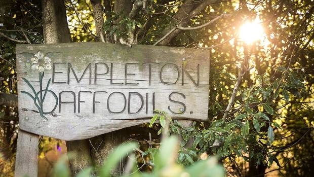 Templeton Daffodils keeps a low profile but is the site of a prolific breeding operation for the beloved bulbs.