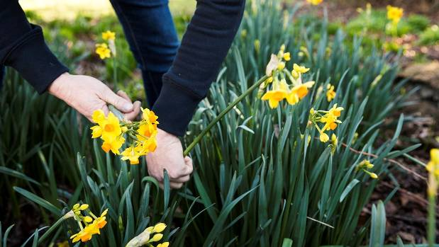 Spring blooms are picked on Leeston farmers and daffodil growers June and Stu McLachlan's property.