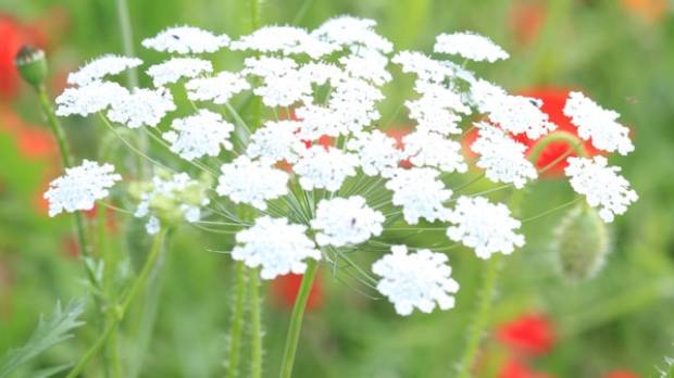 Ammi majus (Bishop's flower) adds a floaty feel to the wedding bouquet.