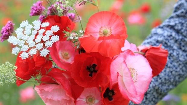 A bouquet of wildflowers, including Ammi majus, pink silene, poppies, purple tansy and lady's mantle.