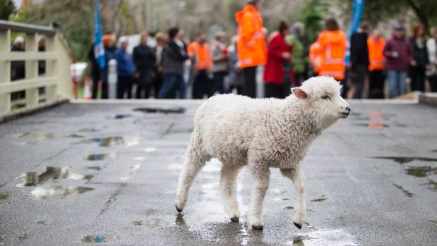 Sheep once crossed the 150-year-old Helmore's Lane Bridge to get to the Riccarton saleyards. They returned for the reopening.
