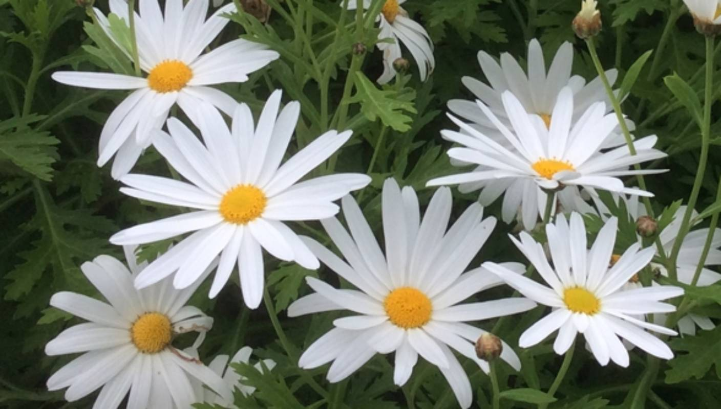 Expert advice on how to grow marguerite daisies in nz stuff izmirmasajfo