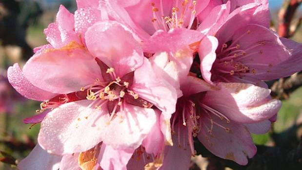The best fruit trees for spring blossom stuff the dwarf almond garden prince has gorgeous pink blooms mightylinksfo