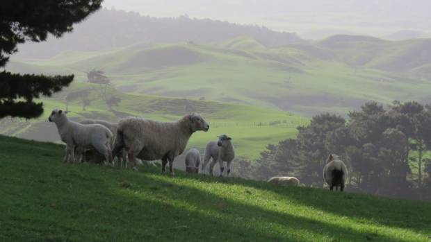 Lambing started on July 1 at Kokonga Farms  south of Auckland.