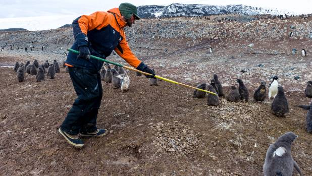 Michael Armstrong gathers adelie penguin chicks.