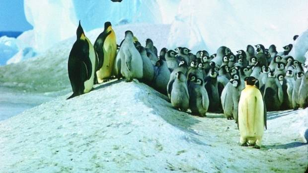 Emperor penguins and chicks at Cape Crozier colony.