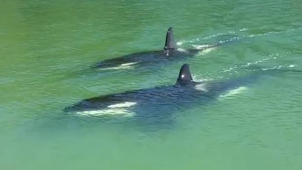 Orca whales get up close and personal with beachgoers at Whangamata beach.
