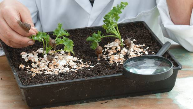 Virgil Evetts tested various barriers around young seedlings and found eggshells were ineffective.