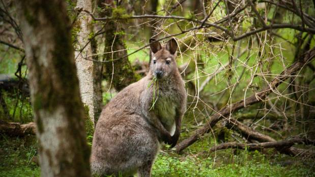 Wallabies are moving into the Mackenzie District.