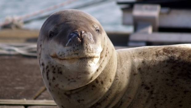 A leopard seal has swapped the icy waters of the Antarctic for the Waitemata Harbour.