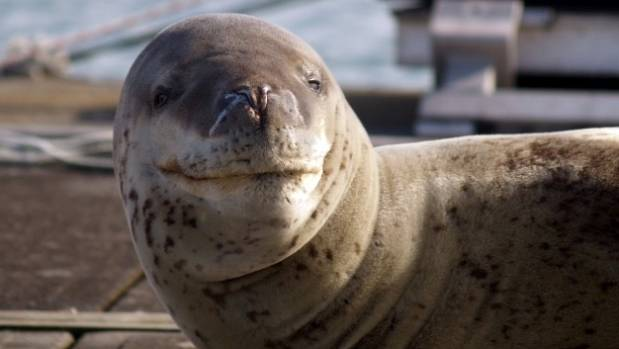 Owha the smiley leopard seal made herself at home at Auckland's Westhaven Marina, but has since headed north.