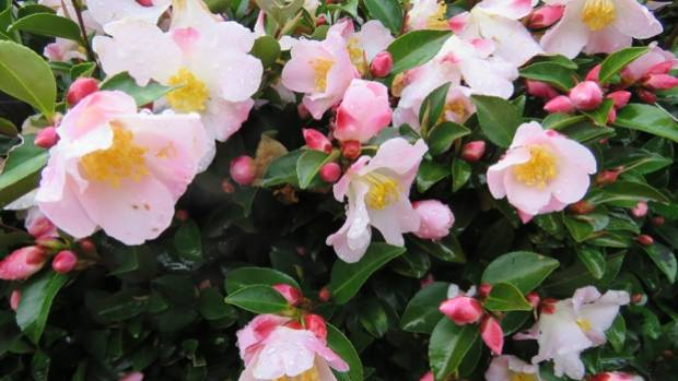Which flowers bloom in mid winter for Pretty low maintenance flowers